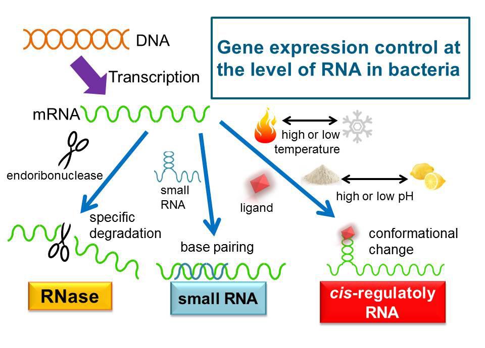 コリネ型細菌の遺伝子発現制御機...